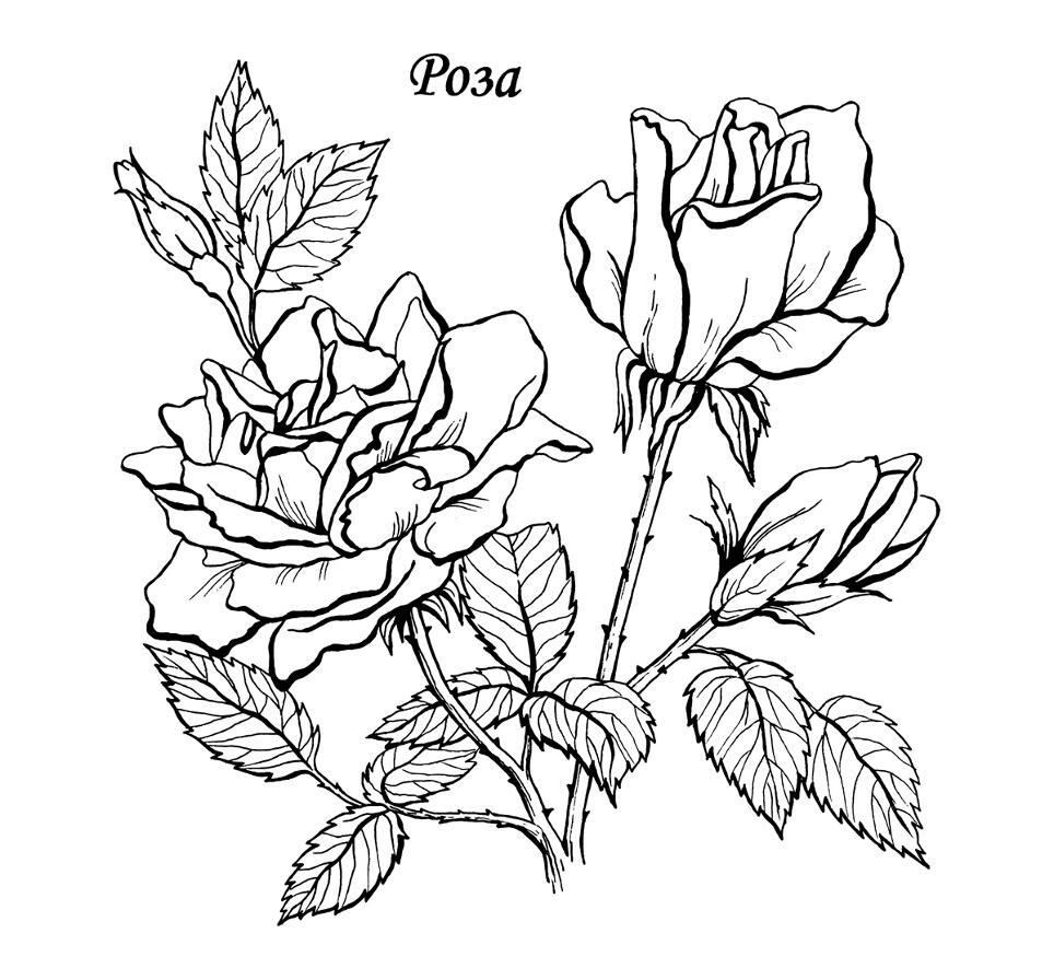 роза с бутоном раскраски для взрослых антистресс